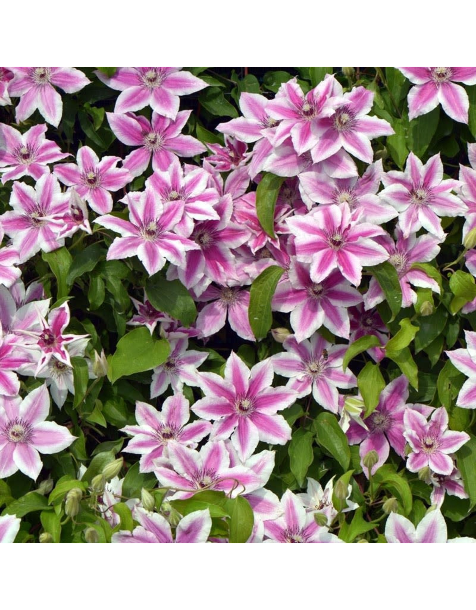 Clematis Carnaby (Bi-Color) 1 Gallon