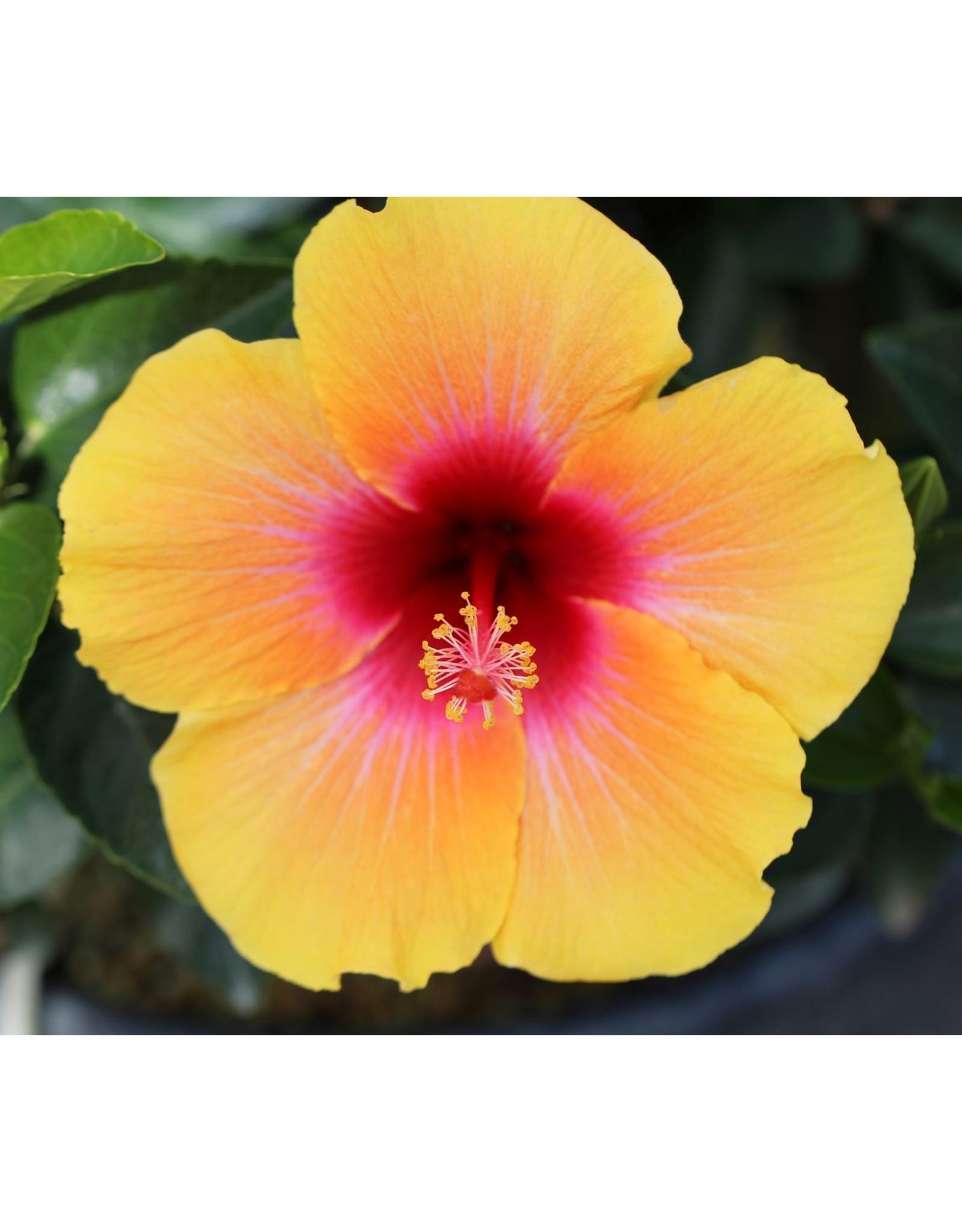"Hibiscus- Hollywood Hibiscus 6"""