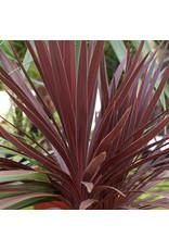 "Cordyline, Red Star- Cordyline australis 'Red Star' 6"""