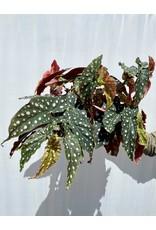 """Polka dot Begonia- Begonia maculata 'Wightii' 6"""""""
