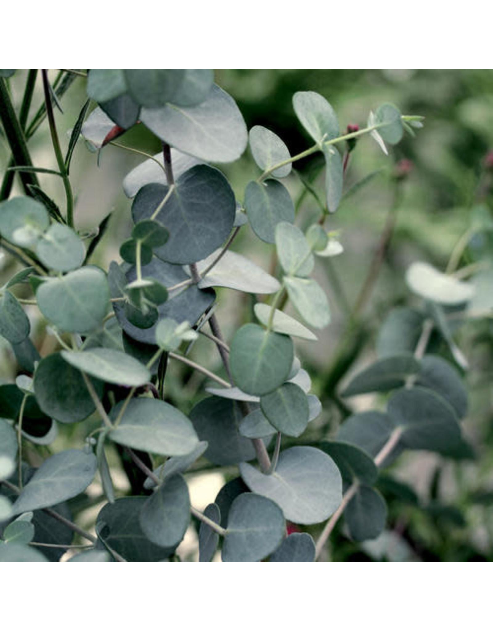 Eucalyptus - Eucalyptus gunnii 'Silver Drop' #1