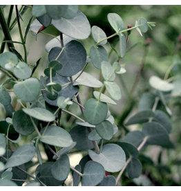 Eucalyptus- Eucalyptus gunnii 'Silver Drop' #1
