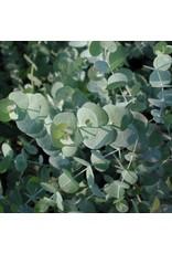 Eucalyptus - Eucalyptus cinera 'Silver Dollar Tree' #1