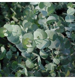 Eucalyptus- Eucalyptus cinera 'Silver Dollar Tree' #1