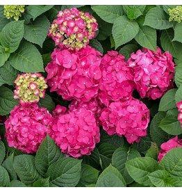 Hydrangea - Hydrangea macrophylla 'Endless Summer Crush' - 2 Gallon
