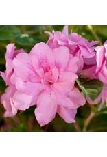 Azalea, Encore- Azalea rhododendron 'Autumn Carnation' #1