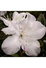 Azalea, Encore- Azalea rhododendron 'Autumn Lily' #1
