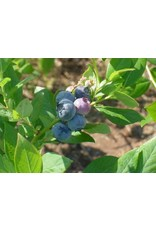 Blueberry- Vaccinium corymbosum x 'Suziblue' #5