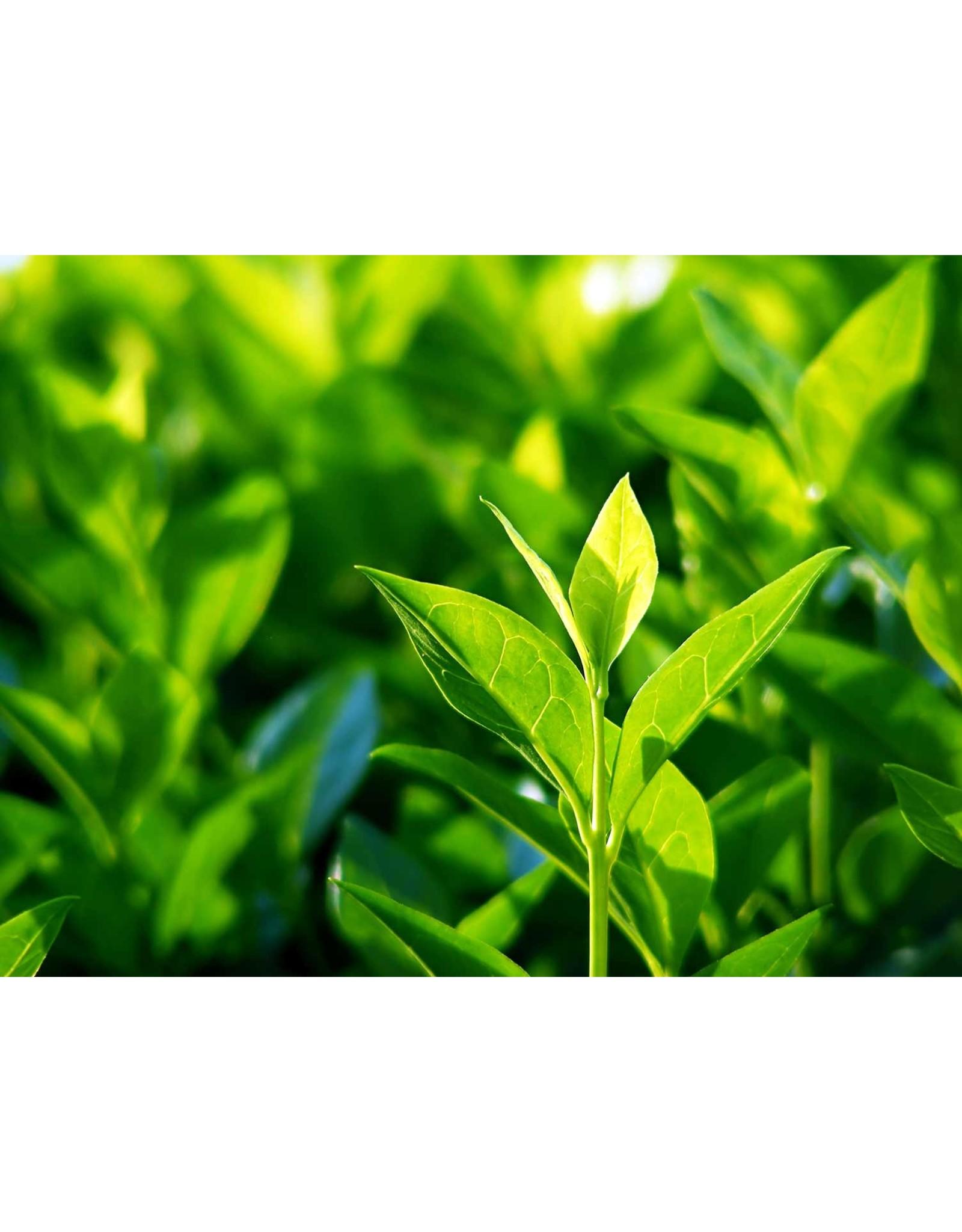 """Tea Camellia- Camellia sinensis 4"""""""