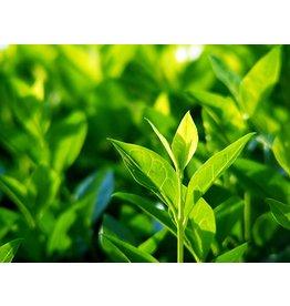 Tea Camellia- Camellia sinensis #1