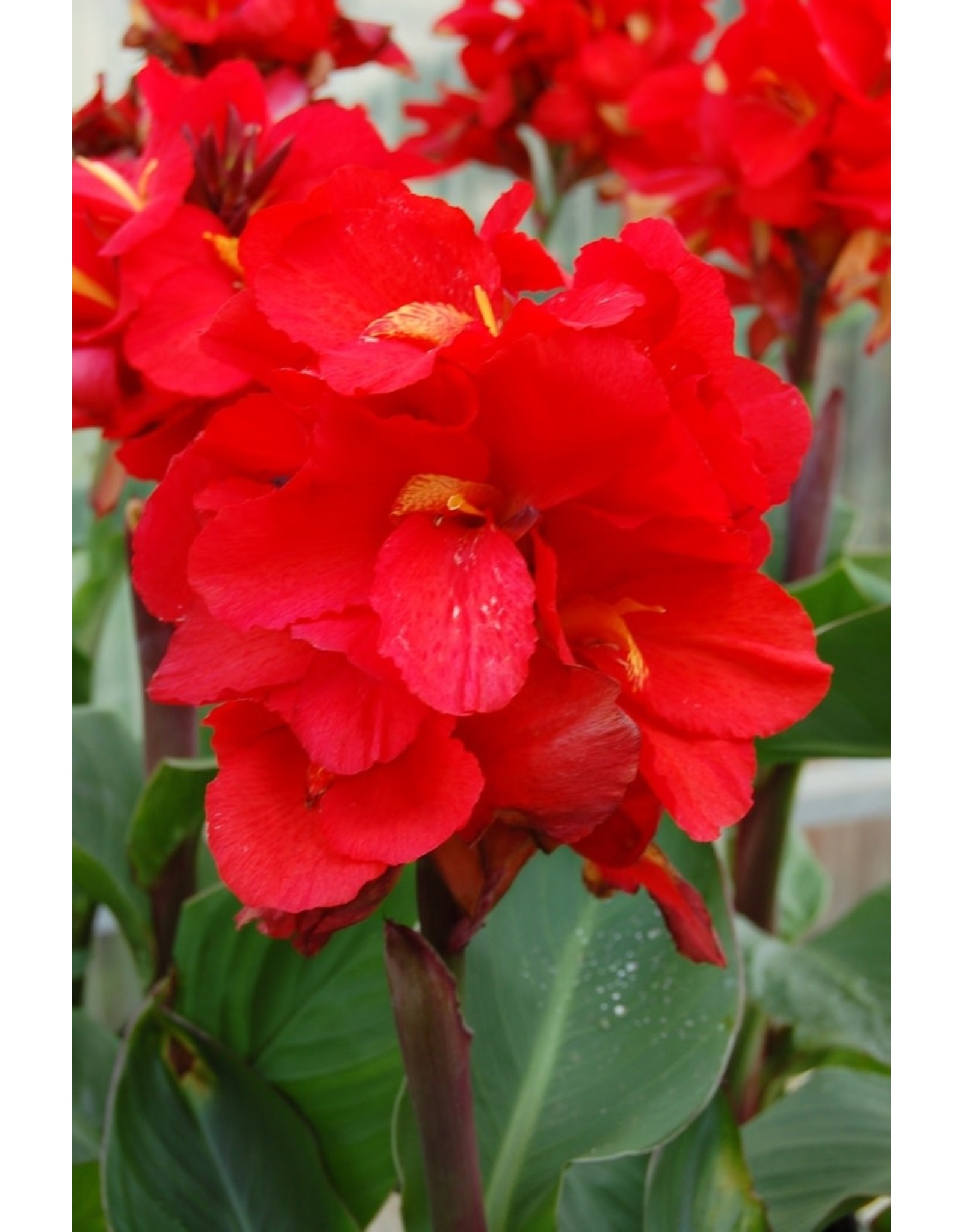 Canna Lily, 'Tropical Red' #1