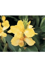 Canna Lily, 'Tropical Yellow' #1