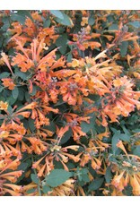 Hyssop- Agastache 'Arizona Sandstone' #1