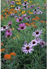 (Native) Coneflower, Purple- Echinacea tennesseensis  #1