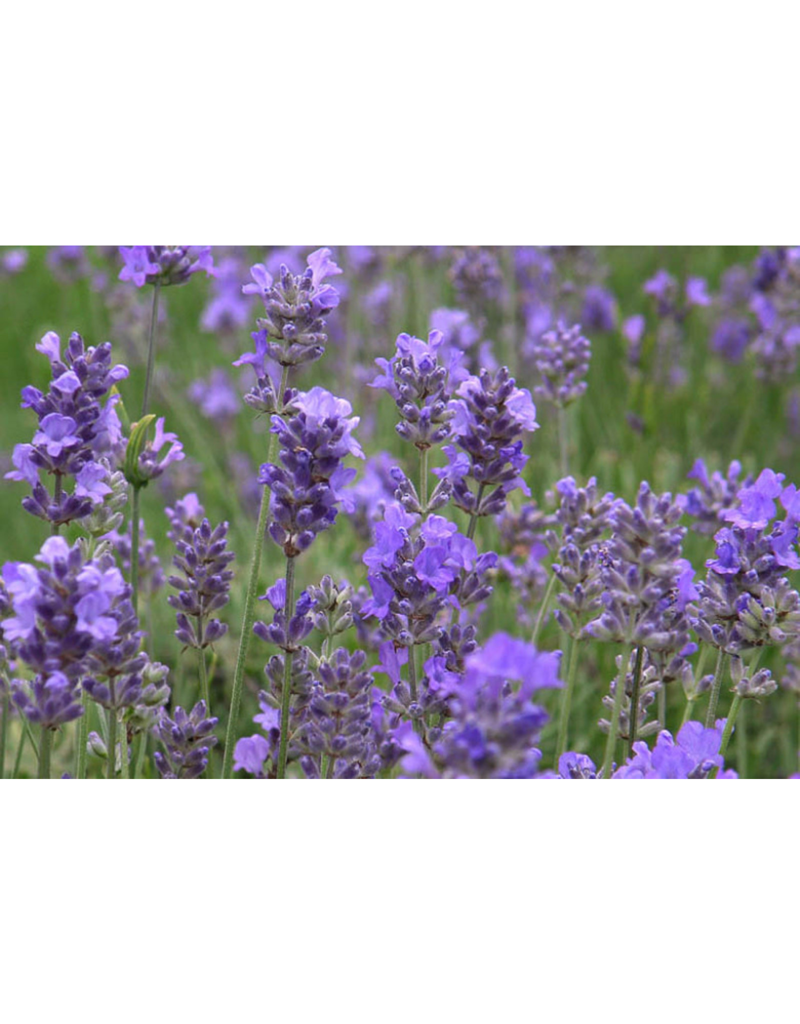 Lavender, English-  Lavandula angustifolia 'Hidcote' #1