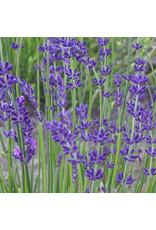 Lavender, English-  Lavandula angustifolia 'Superblue' #1