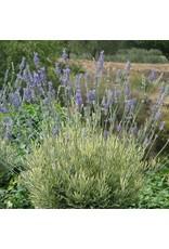 Lavender, Platinum Blonde-  Lavandula angustifolia 'Platinum Blonde' QT