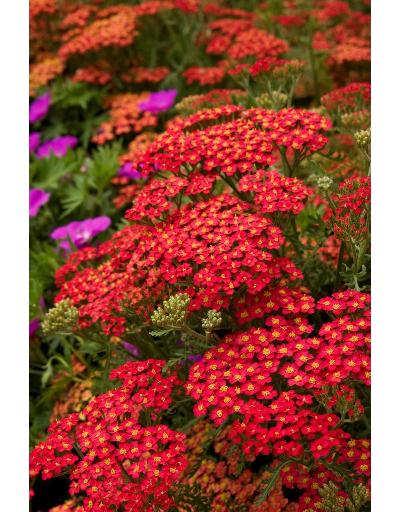 Yarrow- Achillea millefolium 'Paprika' QT