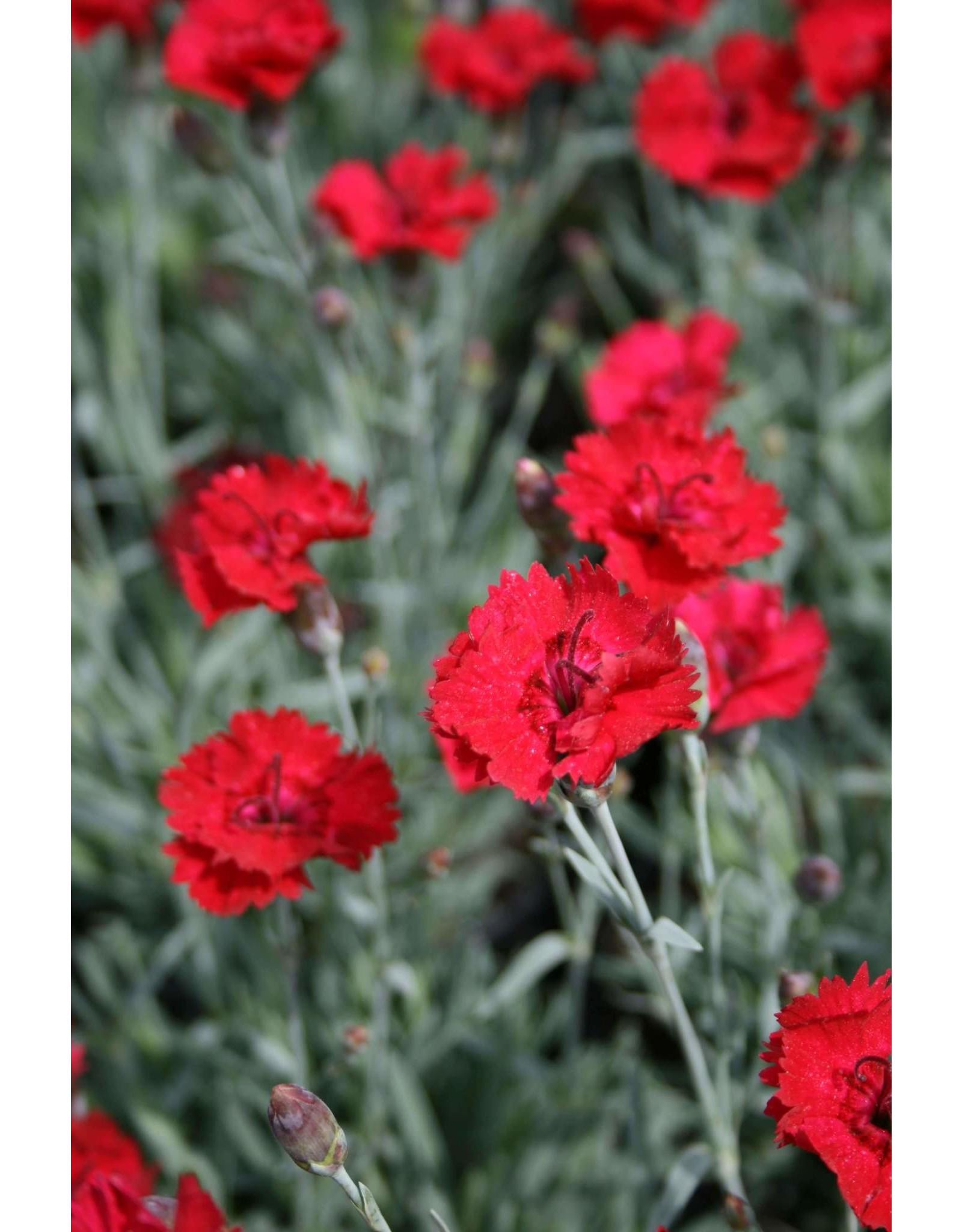 Carnation- Dianthus x 'Frosty Fire' QT