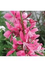 Whirling Butterflies- Gaura lindheimerii 'Siskiyou Pink' QT