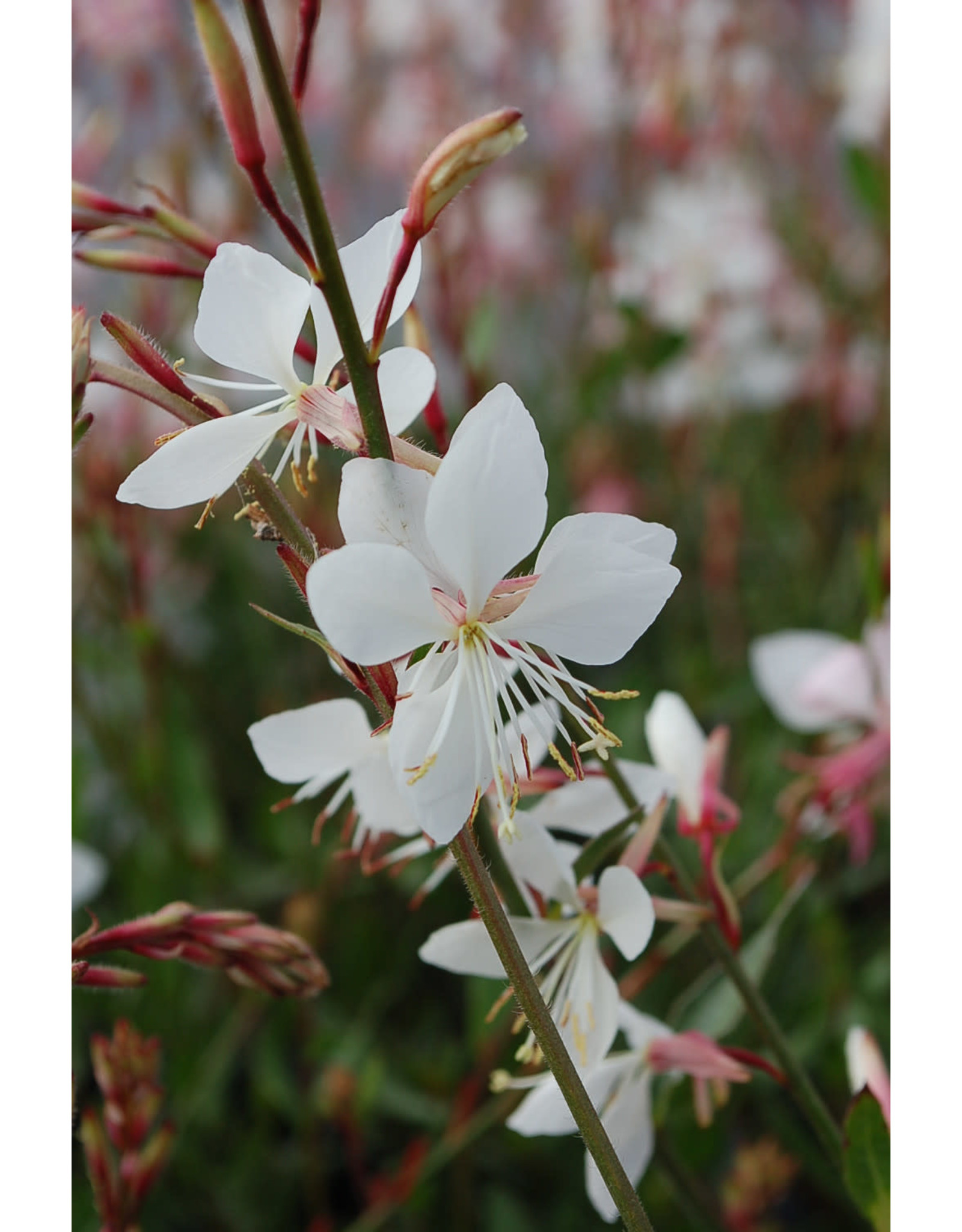 Whirling Butterflies- Gaura lindheimerii 'Sparkle White' QT