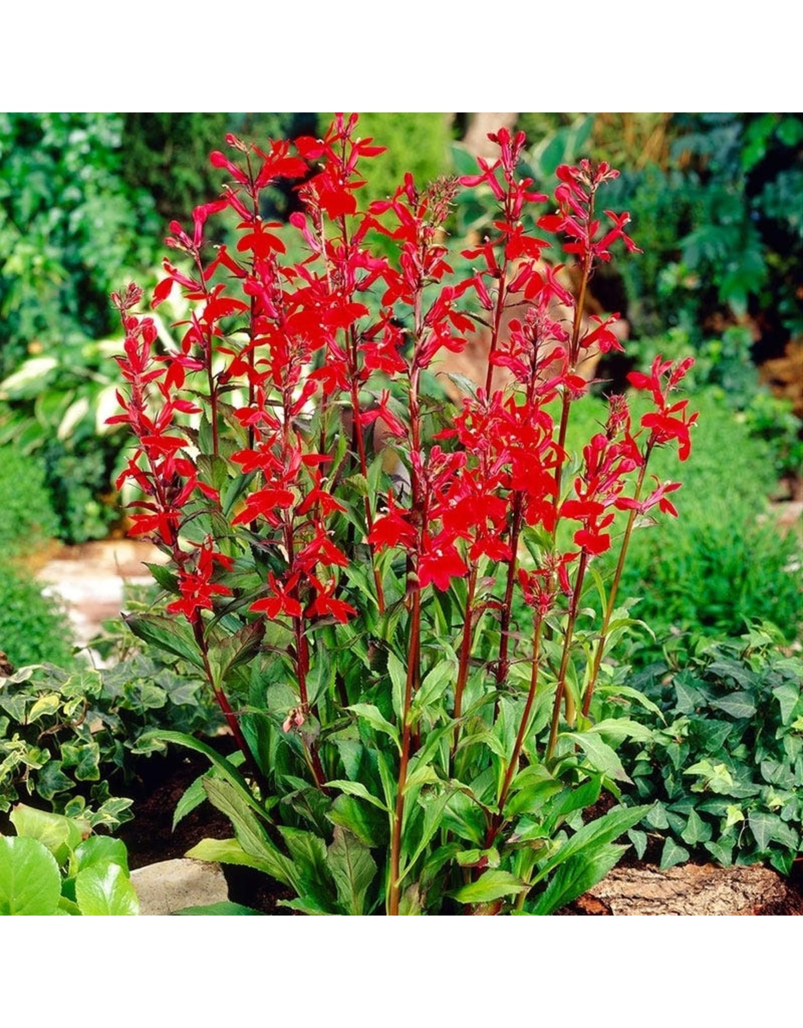 (Native) Cardinal Flower- Lobelia cardinalis #1