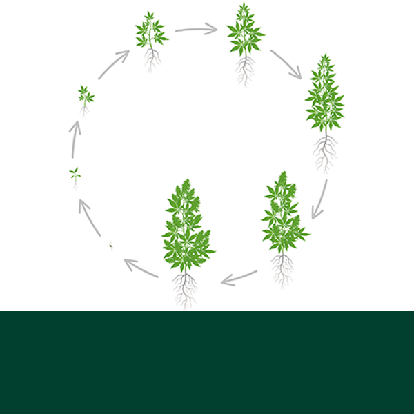 The Life Cycle of Cannabis