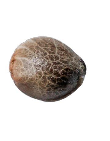 34 Street Seed Co Muskoka Kush Seeds