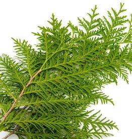 Cedarwood, Organic Essential Oil