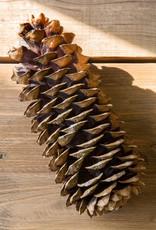 Sugar Pine Cones