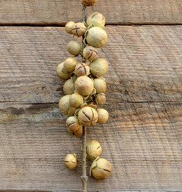 Date Palm Fruit Stem