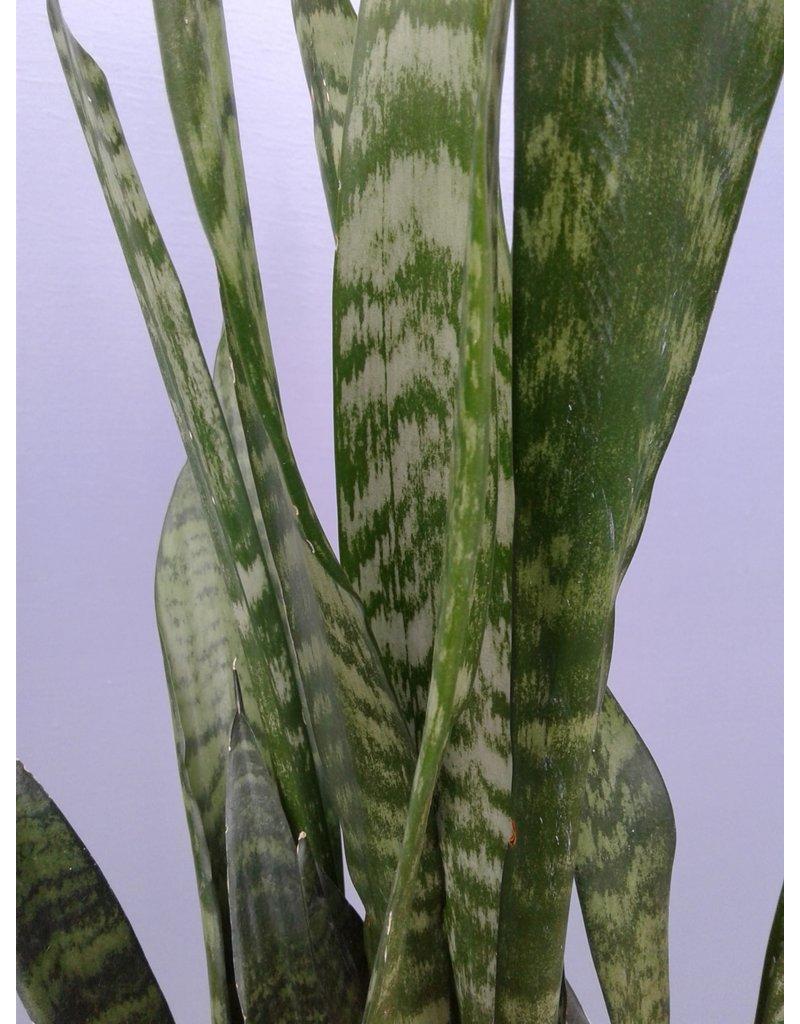 "10"" Sansevieria 'Black Coral' Snake Plant"