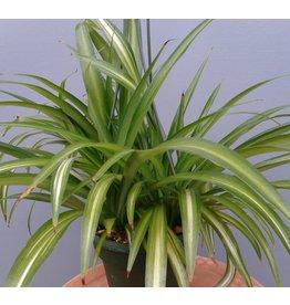"""6"""" Chlorophytum c. 'Hawaiian Spider'"""