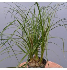 "6"" Beaucarnea recurvata 'Ponytail Palm'"