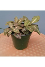 """4"""" Pink Fittonia"""