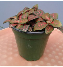 """4"""" Red Vein Fittonia"""