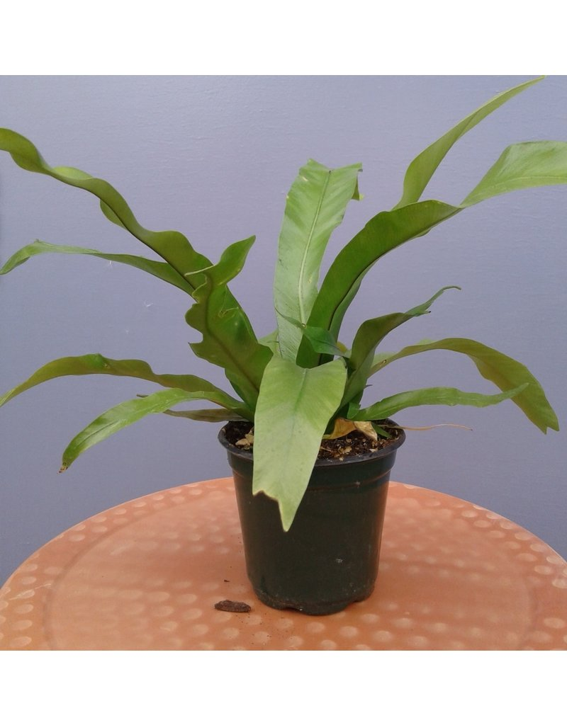 "4"" Bird's Nest Fern"