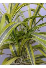 "8"" Dracaena deremensis 'Lemon Lime'"