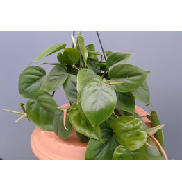 """6""""HB  Philodendron cordatum 'Heart Leaf Philodendron'"""