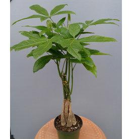 """4.5"""" Pachira 'Money Tree'"""