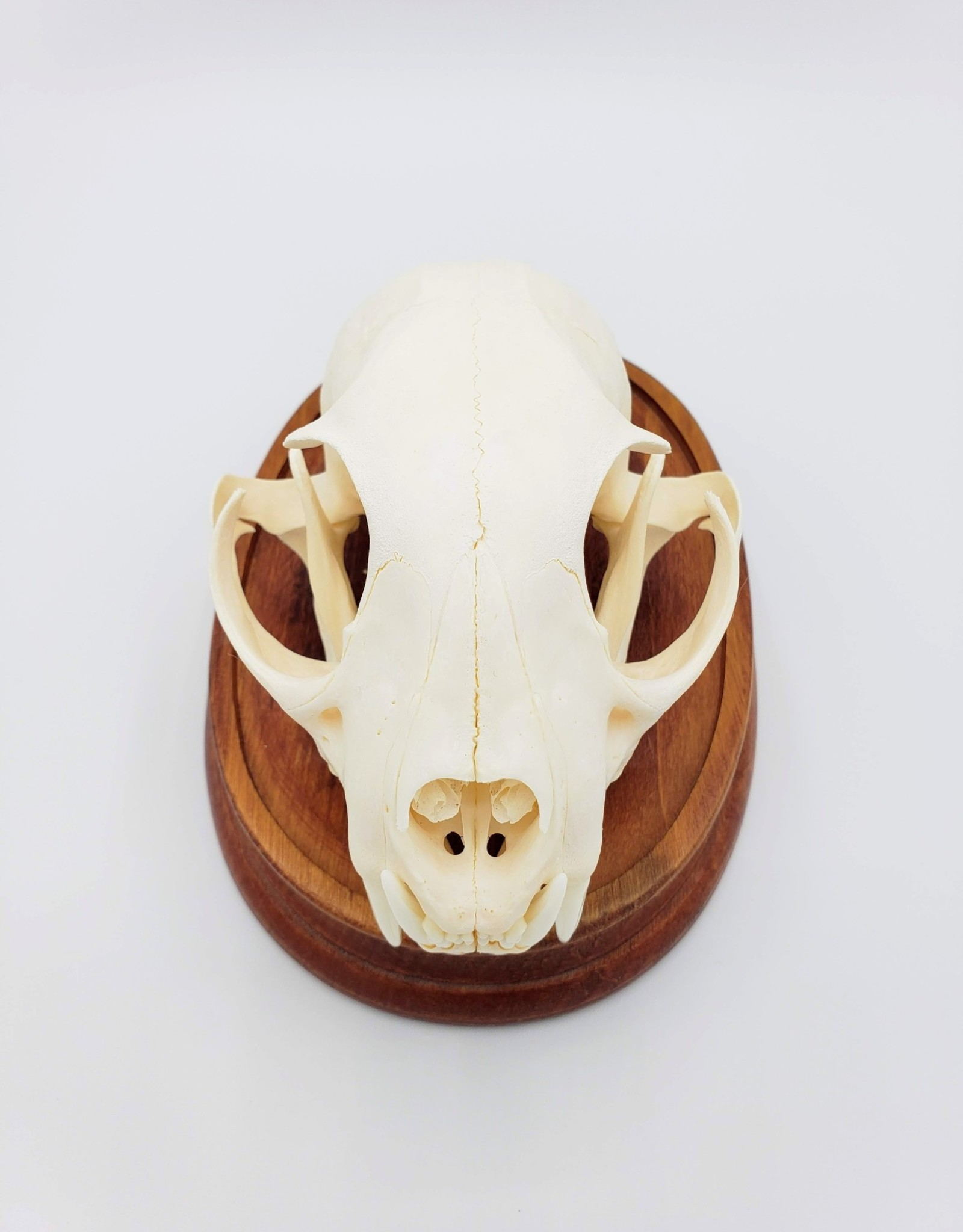 Bobcat Skull- Taxidermy Preservation