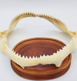 Shark Jaw - medium