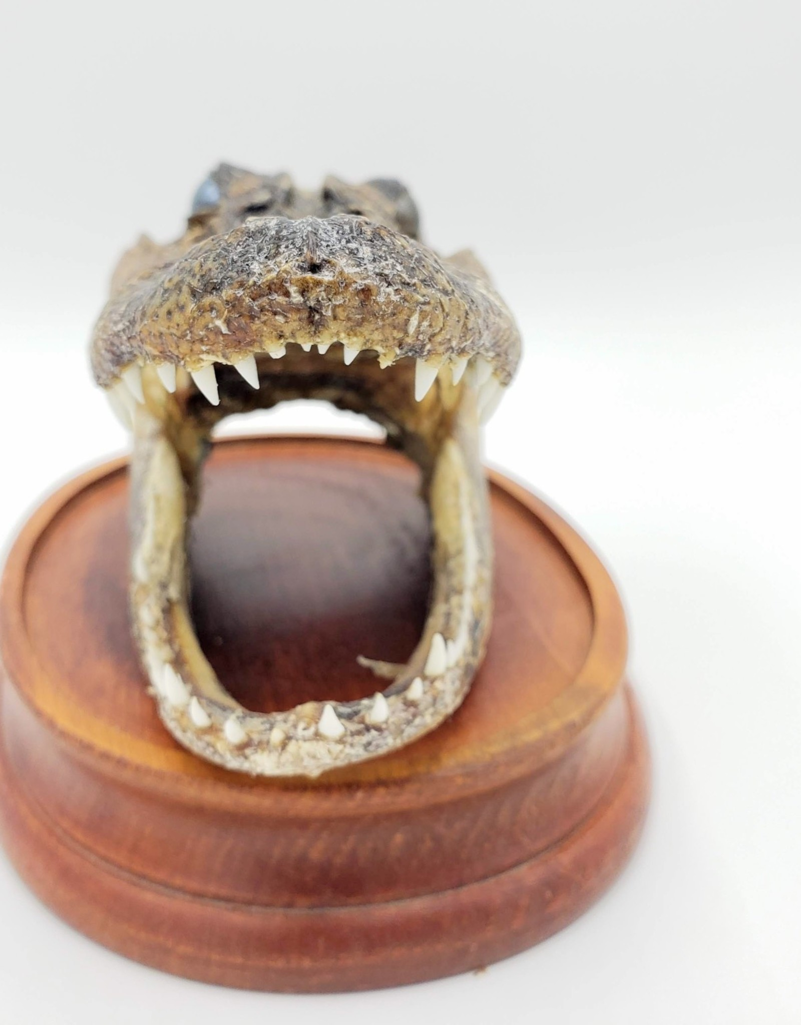 Alligator Head - Taxidermy Preservation