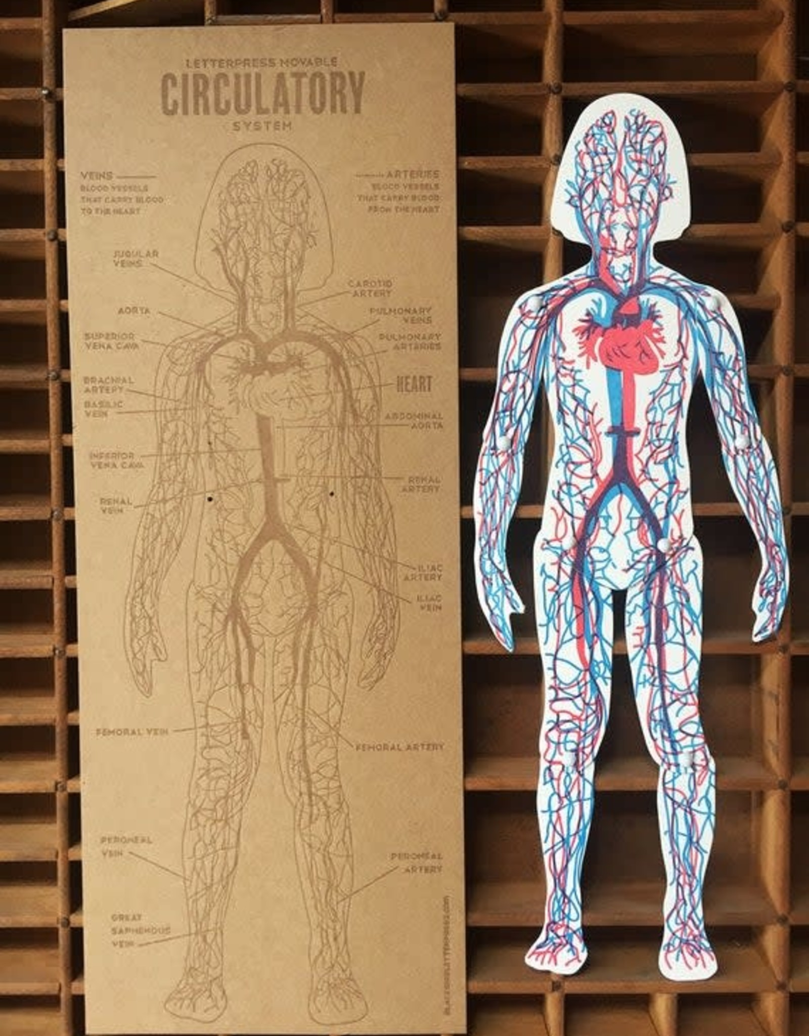 Letterpress Moveable Circulatory System - Large Articulating Paper Figure