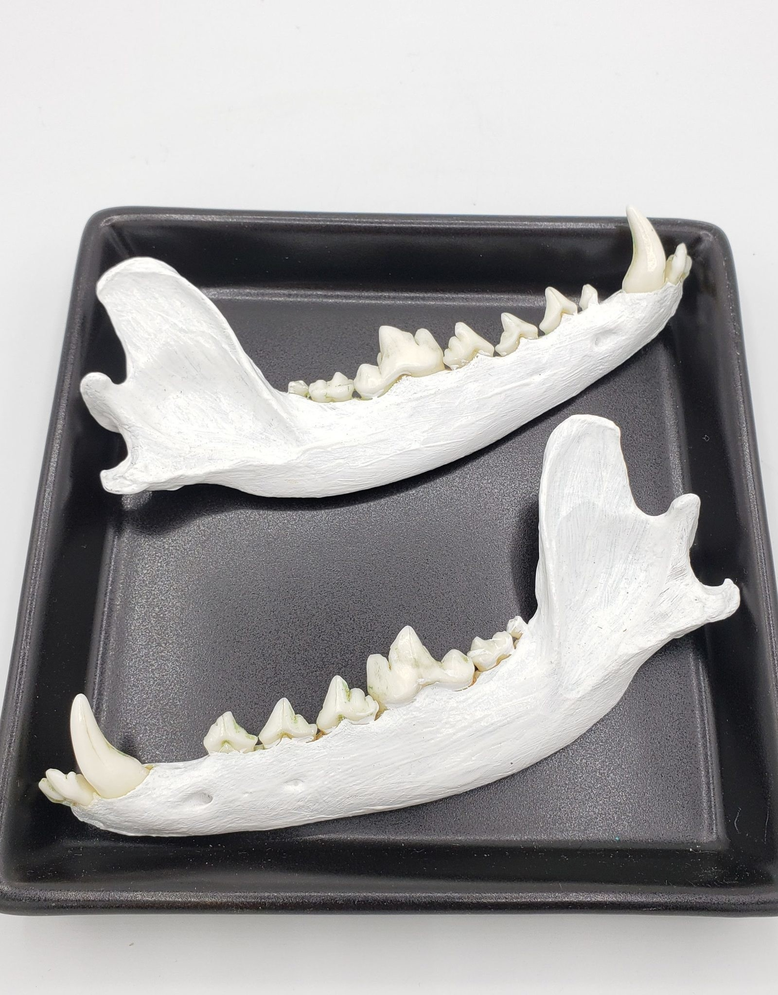 Redux White Painted Fox Jaw, Set of Two (Halves)