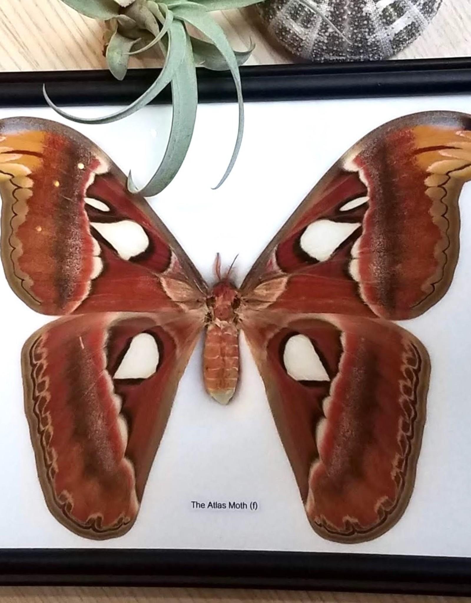 Great Atlas Moth Specimen Framed