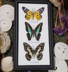 Butterfly Trio Specimen Framed