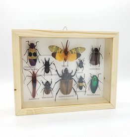 Insects Bugs Beetle Specimen Shadowbox