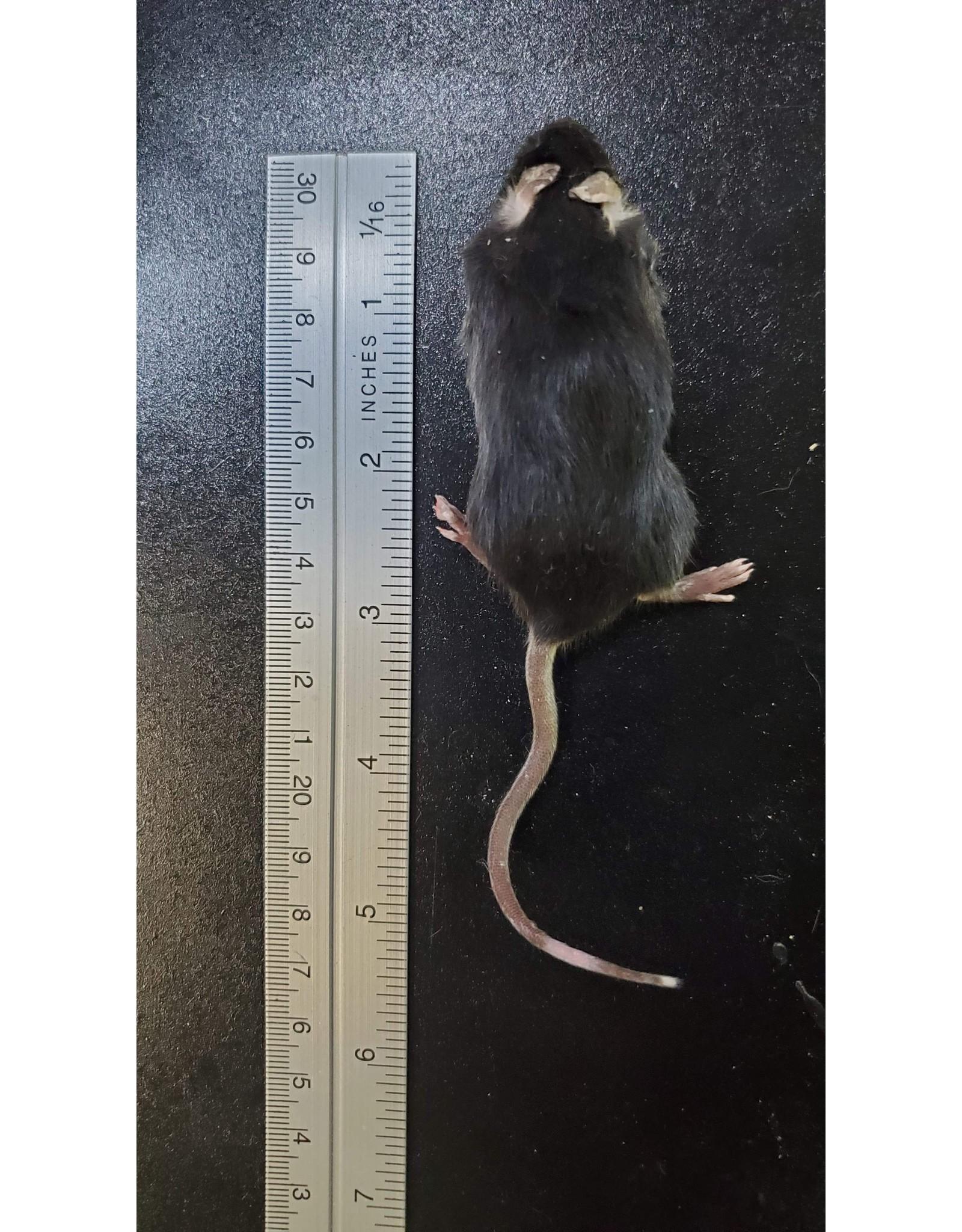 MSR Imporium Frozen Feeder Mice
