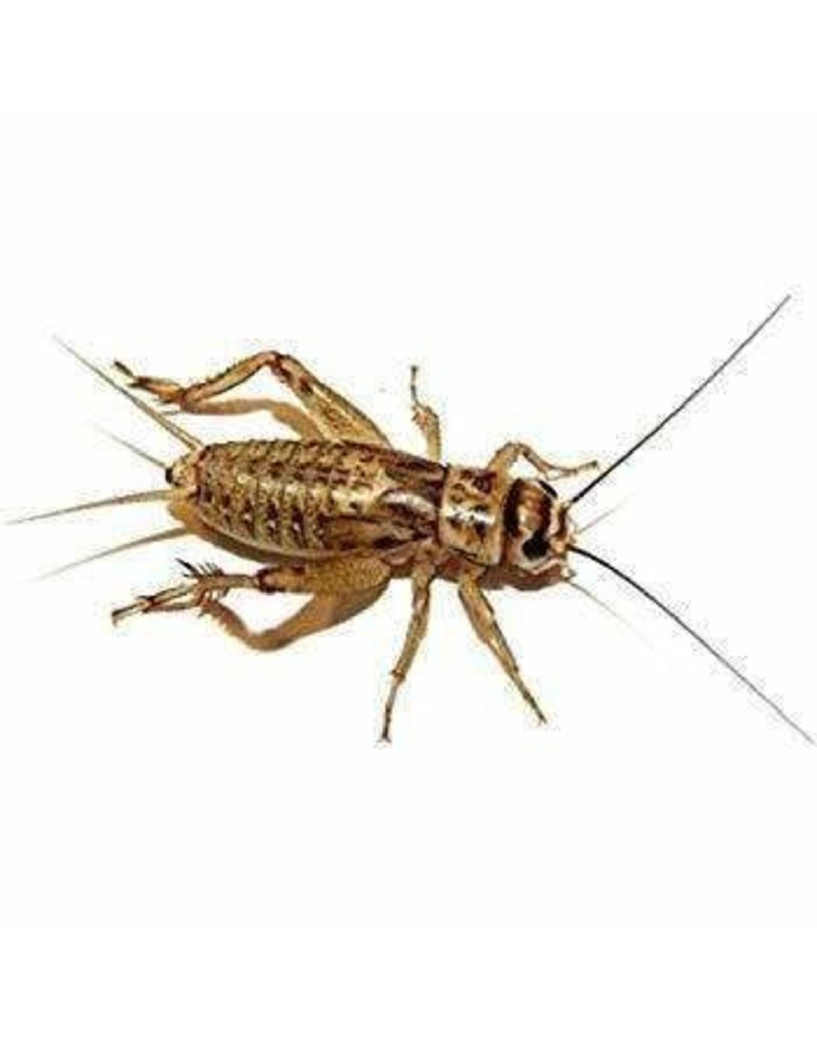 MSR Imporium 10-100 Crickets 100+